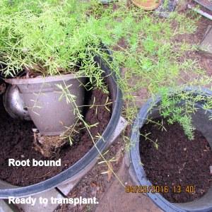 Ready to transplant Asparagus Fern