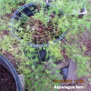 Just transplanted Asparagus Fern