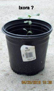 Ixora plant (maybe)