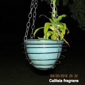 Callisia fragrans flash picture
