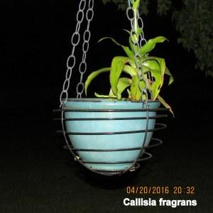 Callisia fragrans flash picture