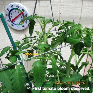 First tomato bloom