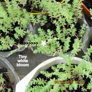 First Sedum bloom