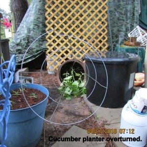 Toppled cucumber planter