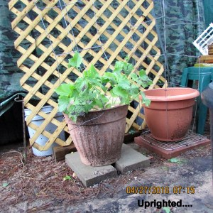 Uprighted planters