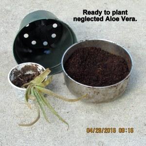 Aloe Vera transplanted