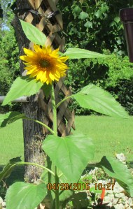 Big and bold sunflower