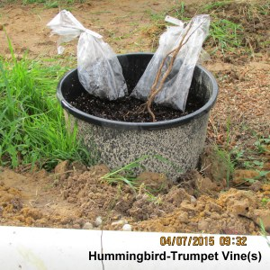 Preparing to plant Hummingbird-Trumpet vine