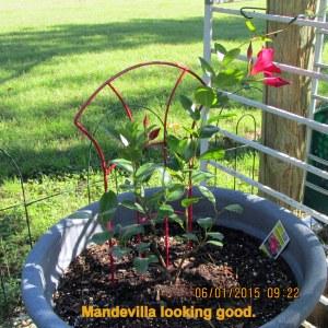 Mandevilla parent plant