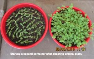 Starting second planter of Money Moss