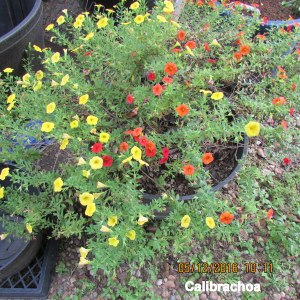 Large planter with Calibrachoa