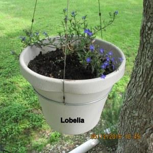 Lobelia in hanging planter