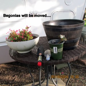 Begonia will be moved