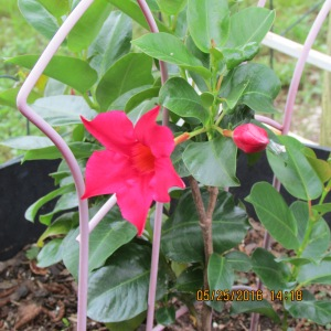 Mandevilla close up