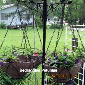 Bedraggled Petunias