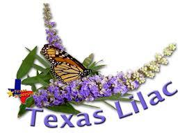 Texas Lilac