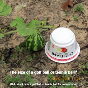 Watermelon size of golf ball