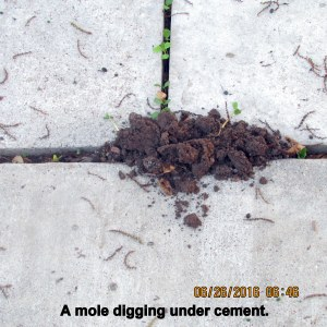 Mole digging under cement