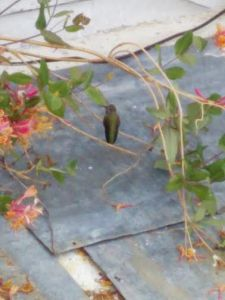 Hummingbird in Bend, Oregon (1)