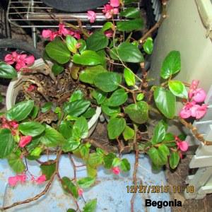 Begonia December 2015