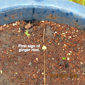 First sign of ginger root