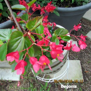 Begonia in May 2016