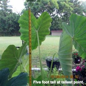 Elephant Ear five foot tall