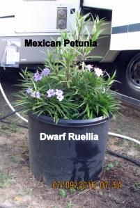 Dwarf Ruellia and Mexican Petunia