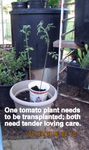 Tomato plants need tender loving care