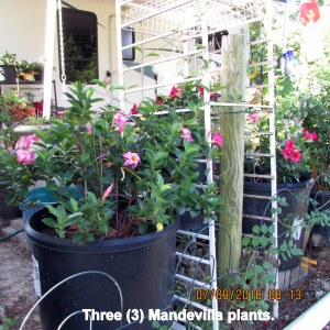 Three Mandevilla plants