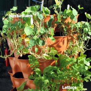 Lettuce and Nasturtium