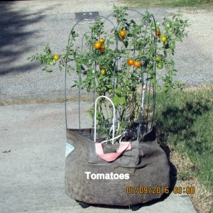 Tomatoes in burlap planter
