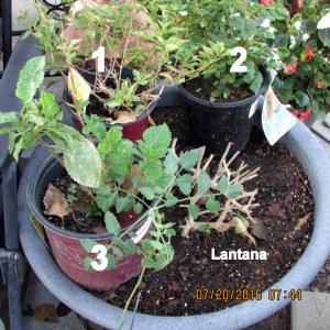 Lantana and three others