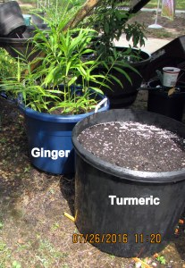 Turmeric next to Ginger