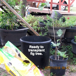 Ready to transplant fig tree