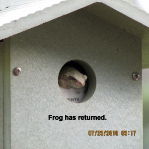 Frog in bird house (2)