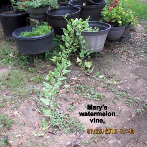 Watermelon vine