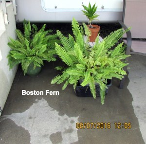 Two Boston Ferns