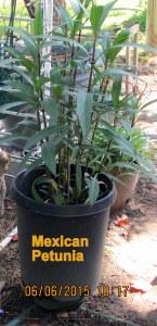 Mexican Petunia June 2015 (1)