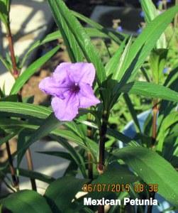 Mexican Petunia June 2015 (2)