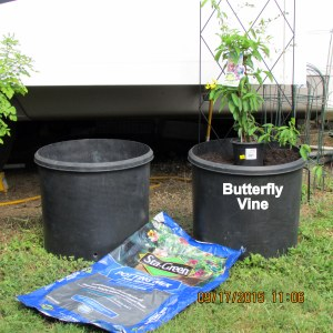 Butterfly Vine September 2015