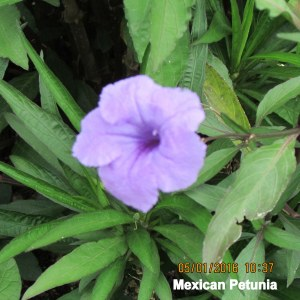 Mexican Petunia bloom