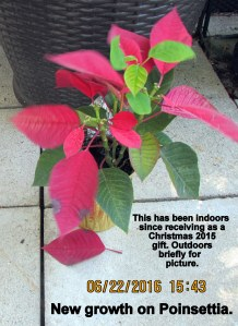 Poinsettia in June