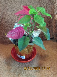 Poinsettia in July