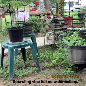 Sprawling watermelon vine