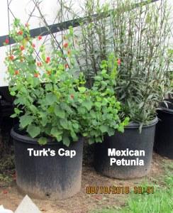 Turk's Cap August 2016