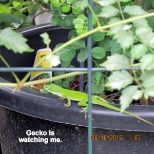 Gecko is watching me