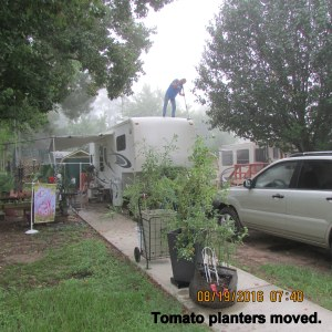 Tomato plants moved