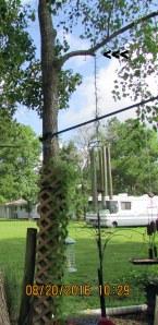 Cypress vine up to tree limb