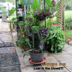 Cereus is lost in the crowd